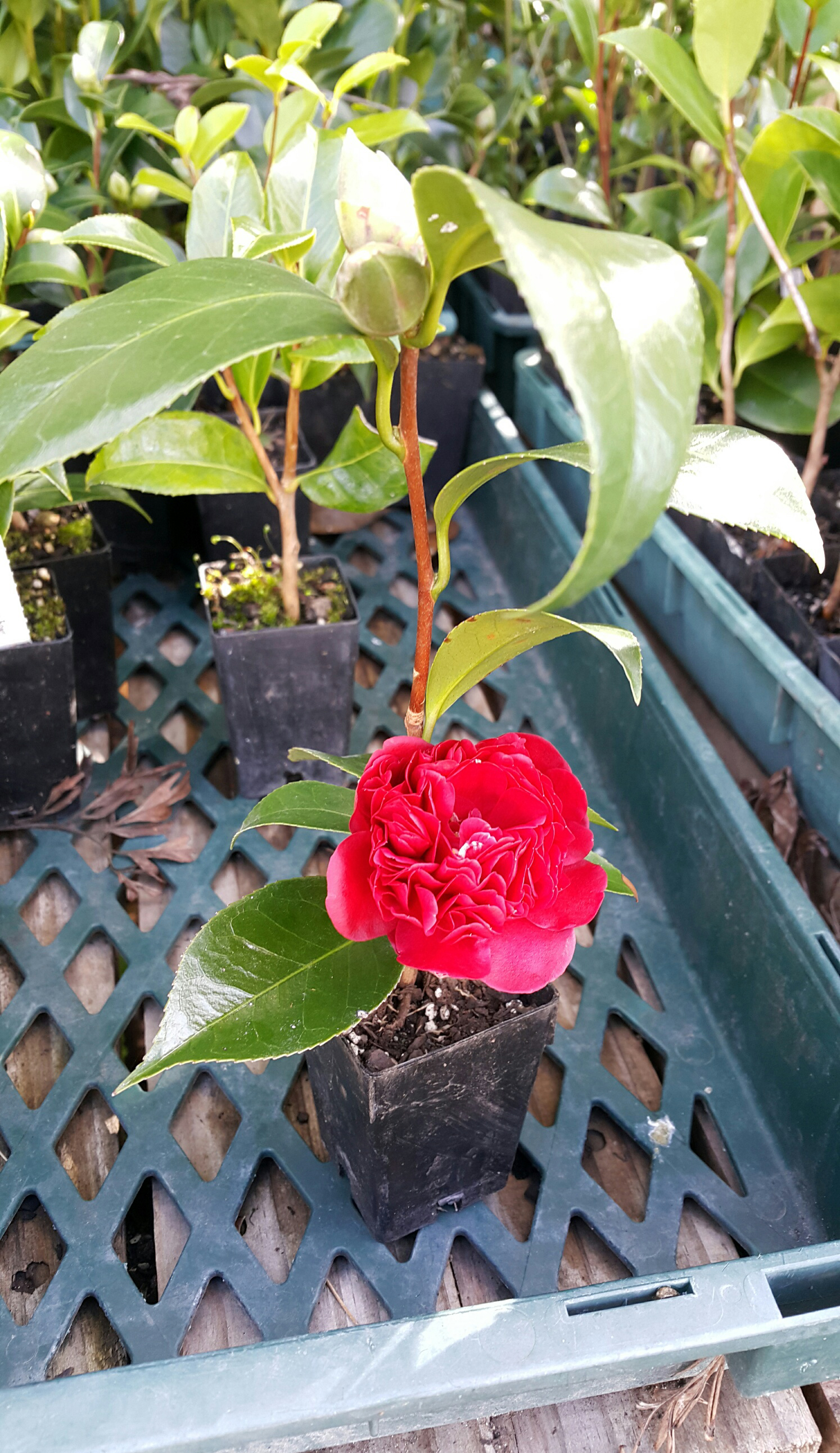 20150520_Camellia_2_Trees_Please